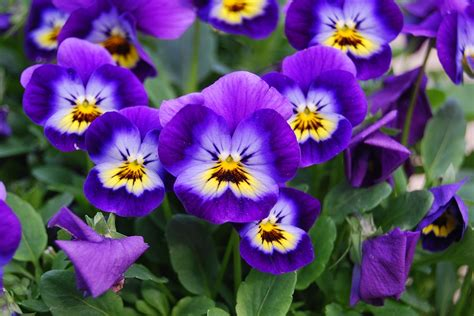 fiori violette foto free photo flowers nature viola cornuta l free image
