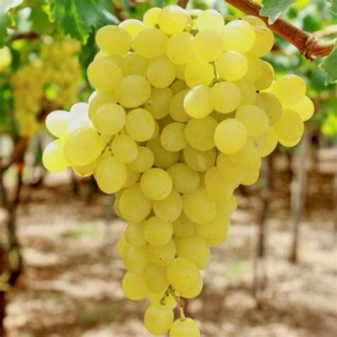 uva da tavola uva da tavola quot dei vigneti quot vaso 1 5 litri