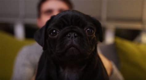 nala the pug nala the pug puppy will your with big puppy sooo precious