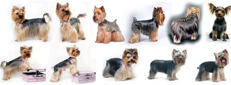grooming styles for yorkies explore yorkie haircuts pictures and select the best style for your pet
