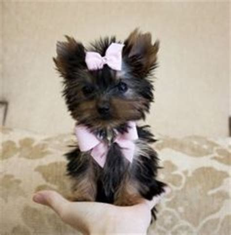 how much are teacup yorkie puppies micro teacup yorkie price www pixshark images