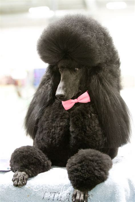 french poodle cuts 121 best images about poodle on pinterest french