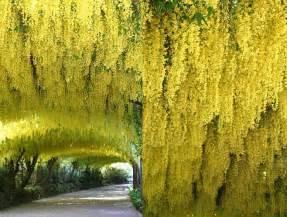 Dwarf Fruit Trees Australia - laburnum x watereri vossii golden chain tree blerick trees buy online trees advanced trees