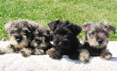 miniature schnauzer puppies for sale in iowa miniature schnauzer breeders schnauzer puppies for sale autos post