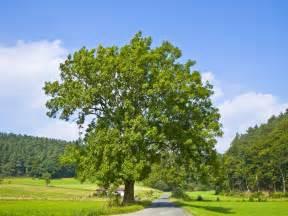 ash tree free large images