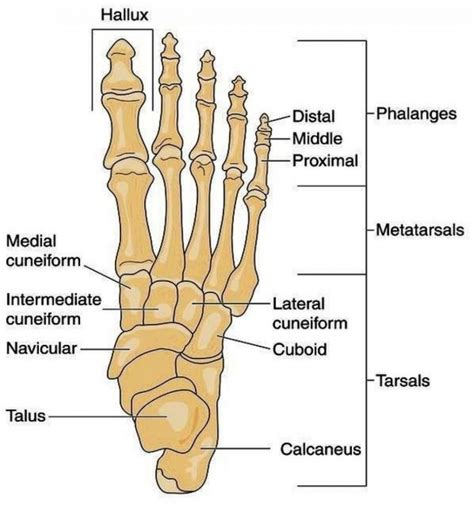 foot diagram ankle and foot diagram anatomy human