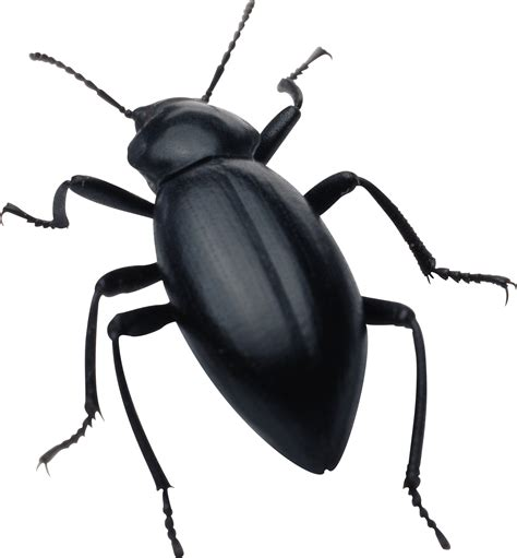 can bed bugs be black black bug transparent png stickpng