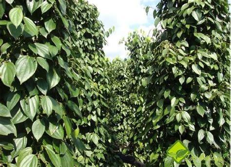 Lada Hitam Perdu lada ciri ciri tanaman lada serta khasiat dan manfaat