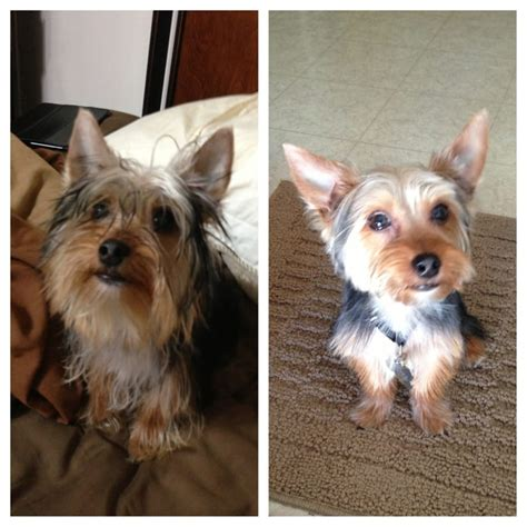 before and after pics of yorkie haircuts my yorkie before and after his grooming and wash yelp