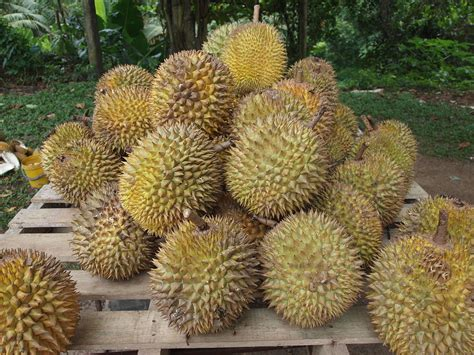the fruit tree durian
