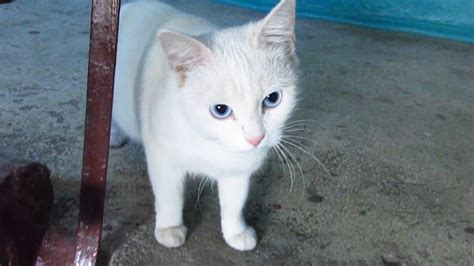 white cat white cat with blue waiting for me