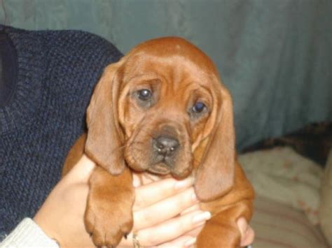 purebred redbone coonhound puppies for sale 41 best images about redbone coonhound on