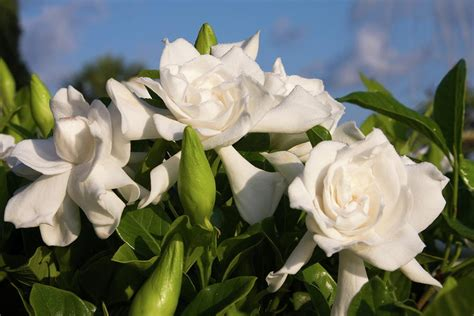 gardenias flower flowers for flower lovers gardenia flowers