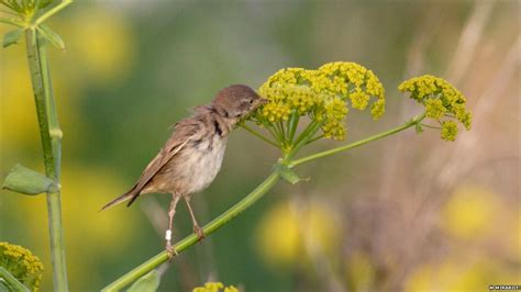 bbc nature european birds use nectar as migration energy