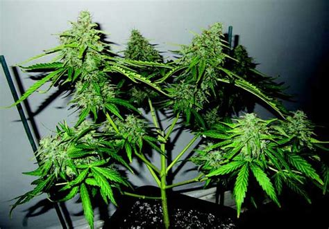 Nd Switer by Jorge S Cannabis Encyclopedia Pruning 183 High Times