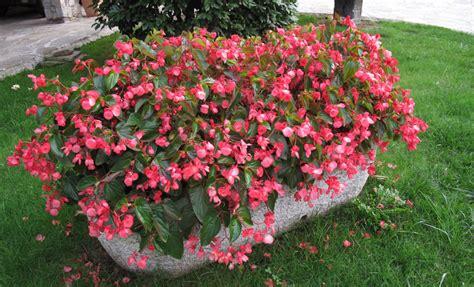 fiori da bordura pieno sole fiori per aiuole pieno sole issopo with fiori per aiuole