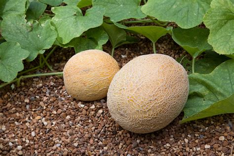 Growing Cantaloupe and Honeydew Melons   Bonnie Plants