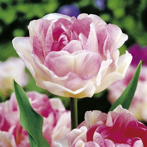 Seprei Tulip Pink 3 Uk 160x200 tulip bulbs angelique late dobies