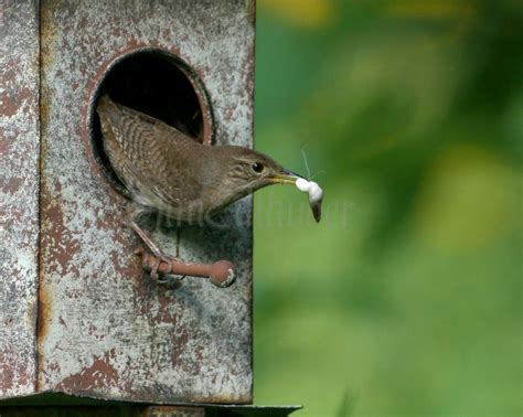 house wren food house wrens bringing food to the nest to feed the in waukesha county wisconsin on