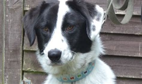 setter cross dog rescue punch 1 2 year old male collie cross setter dog for adoption