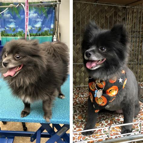 black pomeranian haircuts puppy cut black pomeranian www pixshark images galleries with a bite