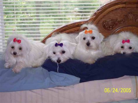 maltipoo puppies for sale nc maltese purebred a k c puppies for sale in carolina