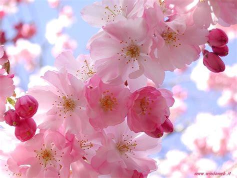 fior di ciliegio fior di ciliegio sfondo come piantare un ciliegio