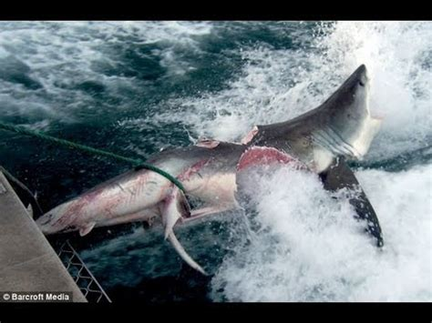 fishing boat attacked by shark megalodon megalodon shark attack off florida coast game fishing boat