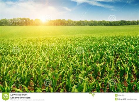 stock photos pictures royalty free corn field stock image image of clouds morning land 35316447