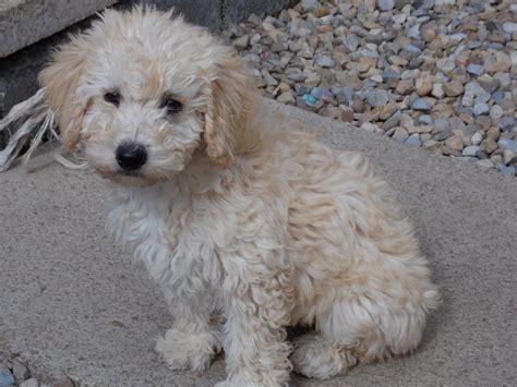 goldendoodle puppy breeders uk f1b goldendoodle puppies wakefield west