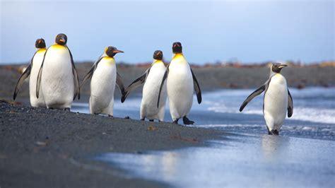 Traveller Pinguin penguin passage australia s antarctic territories australian traveller