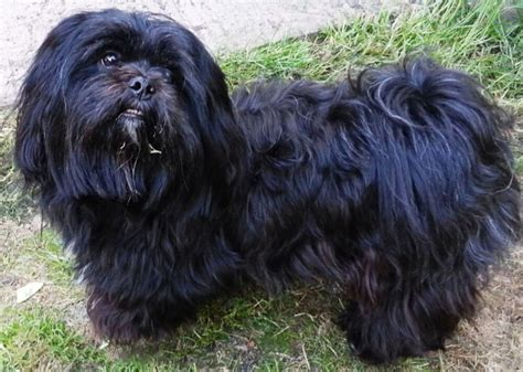 shih tzu lhasa apso mix black what breed s is my