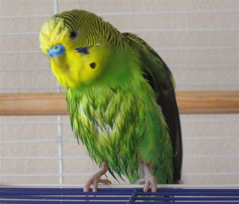 gabbia cocorita gabbie per cocorite uccelli esotici voliere per le