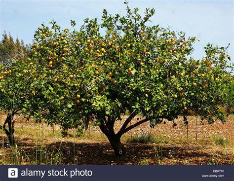 tree with lemon tree citrus limon tree with fruits stock photo