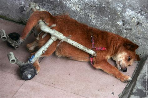 rescue dogs animal rescue center for disabled dogs 187 gagdaily news
