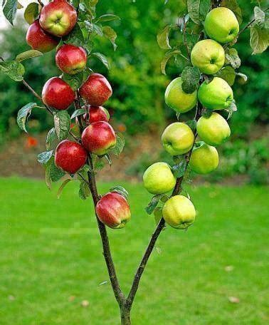 grafting fruit tree how to graft a tree step by step diy tutorial
