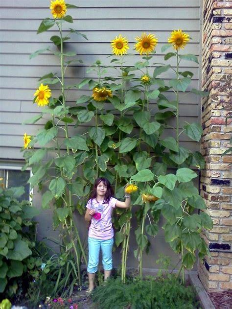 25 Best Ideas About Mammoth Sunflower On Pinterest Sunflower Garden Ideas