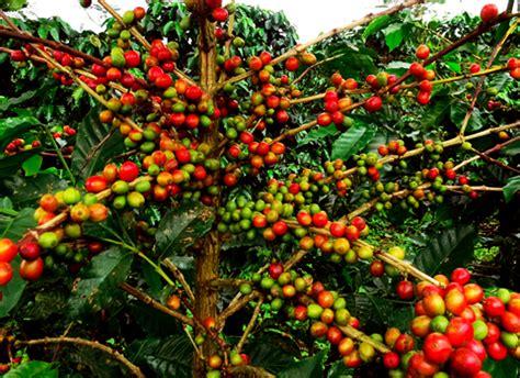 bukan  beda nama   perbedaan kopi robusta