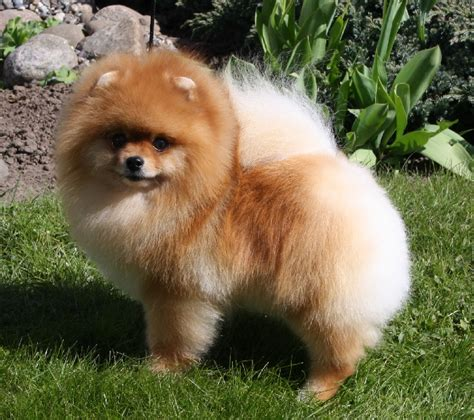 pomeranian merchandise pomeranian merchandise breeds picture