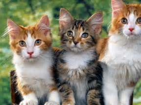 cute cats beautiful wallpapers amp images for desktop hd