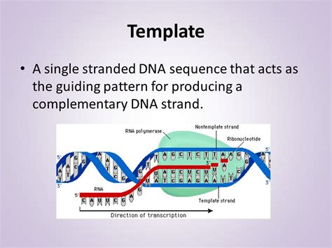 Dna Replication Ppt Video Online Download What Acts As The Template In Dna Replication