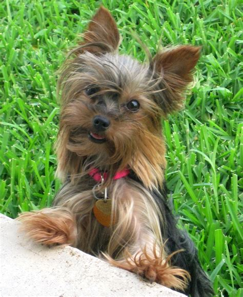 teacup yorkie poo grown images of a grown yorkie poo breeds picture