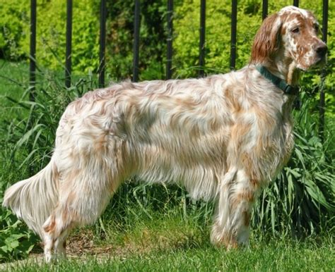 setter dog grooming about dog english setter how well is your english setter