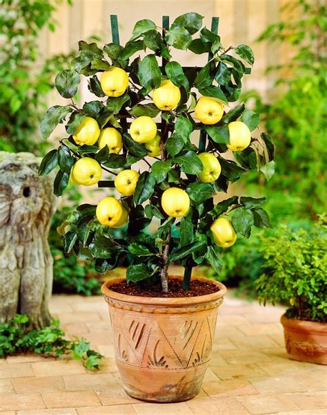how to grow apple trees in backyard best fruits to grow in pots fruits for containers