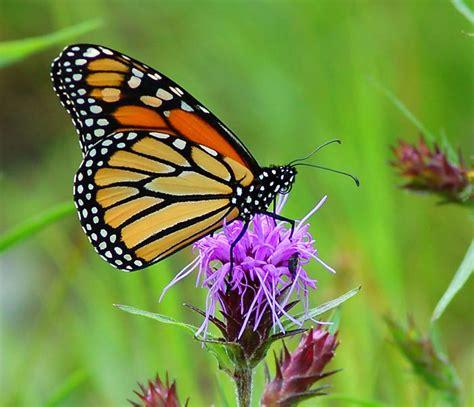 monarch butterfly butterfly monarch