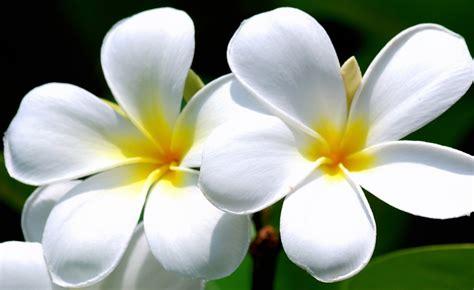 Bunga Bali Kembang Matahari informasi lengkap mengenai bunga kamboja selingkaran