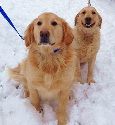 golden treasures golden retriever rescue 1000 images about adoptable together only on adoption shelters and m