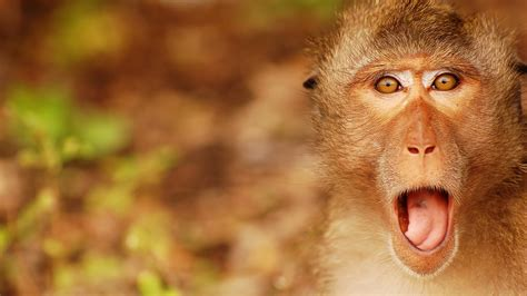 monkey wallpaper for walls monkey background 25516 1920x1080 px hdwallsource com