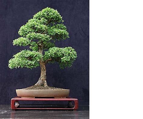 mini tree bonsai for centerpiece houseplants pinterest