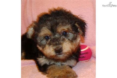 yorkie poo names meet a yorkiepoo yorkie poo puppy for sale for 400 friendly